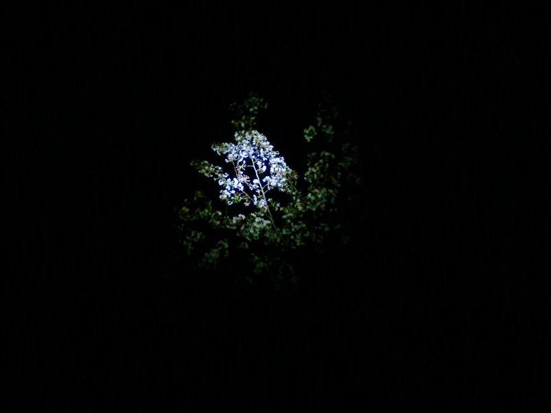 1時、寝る寸前の夜桜