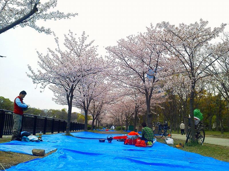 7時ごろの大阪城公園の桜(この後雨)