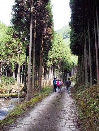 高雄から愛宕山へのコースは北山杉の林を抜ける林道コース