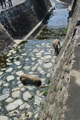 なぜか岡本の町にはイノシシが。。。
