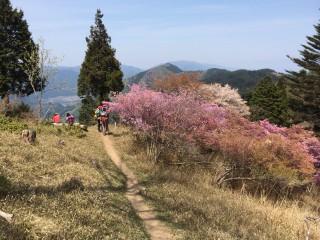 本日の比叡山山頂付近のつつじ