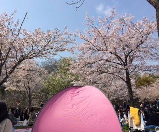 """【大阪城・野崎公園の""""DAYS】花見"""