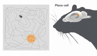 【位置】同じ位置に来ると脳内の「同じ位置が活性化」するので位置を認識しているのがわかる。