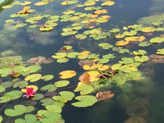 フィールドサーチ「大阪市立大学植物園、水生植物が見頃」