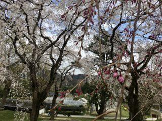 「春来たる」令和二年 桜 大阪市立大付属植物園